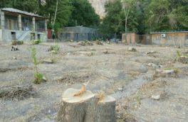 جزییاتی از قطع ده ها قطعه درخت چنار در بیستون