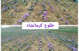 کاشت ۱۴ هکتار زعفران در شهرستان دالاهو