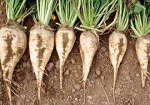 افزایش متوسط عملکرد مزارع چغندرقند استان کرمانشاه به ۶۸ تن در هکتار / کارخانجات قند تنها مصرف کننده چغندر