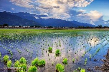 برنج کرمانشاه در ایستگاه آخر / شهبازی: کشت برنج در سطح محدودی باید حفظ شود