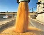 خریداری بیش از ۵۷۲ هزار تن گندم در استان کرمانشاه