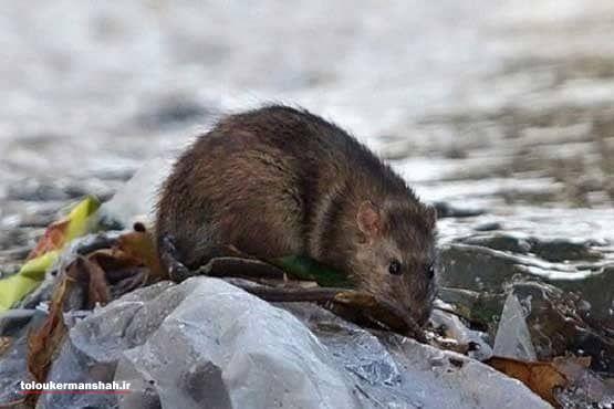 موش هایی که دم به تله شهرداری نمی دهند