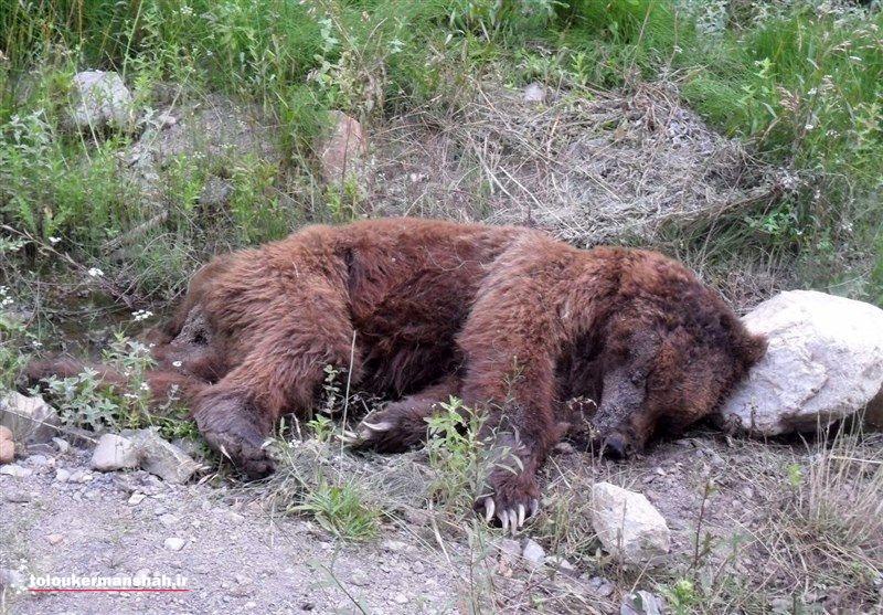 تلف شدن یک قلاده خرس قهوهای