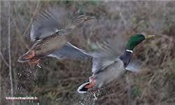 کرمانشاه از نظر بیماری آنفلوانزای فوق حاد پرندگان تالاب در وضعیت مناسبی قرار دارد