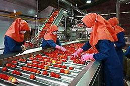 """بهرهبرداری از دومین مجتمع """"کشت و صنعت گوجه"""" کرمانشاه"""