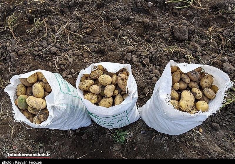 از هیاهوی انتشارخبر سیب زمینی سرطانی تااقامه دعوای جهاد کشاورزی و علوم پزشکی کرمانشاه