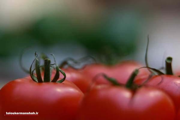 توقیف ۱۵ تن گوجه فرنگی قاچاق در محموله صادراتی کاهو
