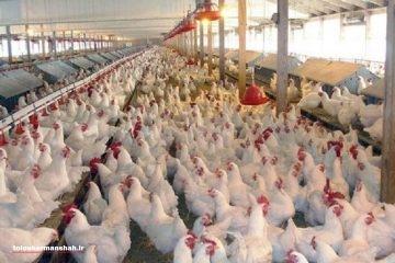 پرواز قیمت مرغ از مرز ۱۲ هزار تومان !