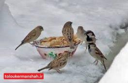 محیط بانان بیش از ۳۰۰ کیلوگرم دانه برای پرندگان پاشیدند