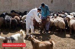۲۰۰ هزار راس دام در اسلام آبادغرب علیه بیماری تب برفکی واکسینه شدند