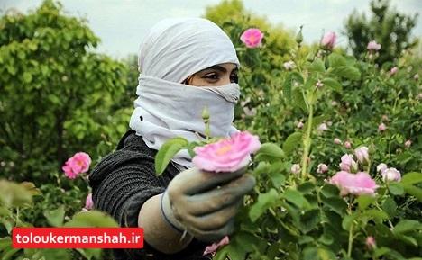 پیشبینی برداشت ۱۸۰ تن گل محمدی در هرسین