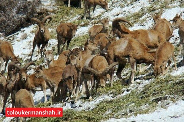 افزایش ۳۲ درصدی دستگیری شکارچیان حیات وحش کرمانشاه