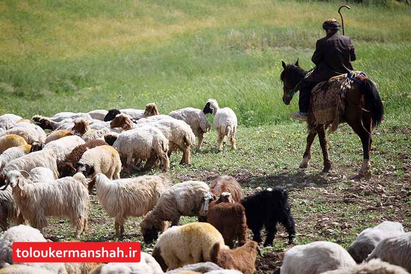 اجباری شدن بیمه دام عشایر/کمتر از ۱۰ درصد دامهای عشایر استان بیمه است