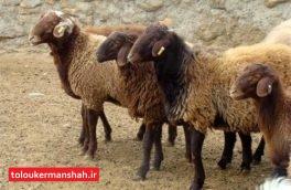 تعیین قیمت گوشت گوساله در جلسه معاون وزیر با بخش خصوصی/ فروش دام زنده عید قربان بیش از ۳۸ هزار تومان زیادهخواهی است