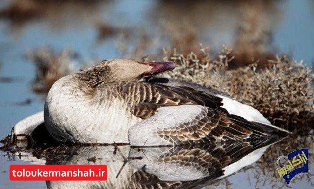 هشدار! خطر آنفلوآنزا جدی است، شکار پرندگان مهاجر ممنوع