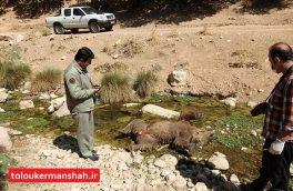 یک قلاده خرس قهوهای در اسلامآبادغرب تلف شد