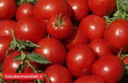 خرید حمایتی گوجه فرنگی در استان کرمانشاه از مرز ۲۶ هزار تن گذشت