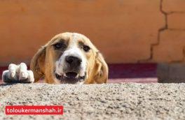 عقیم سازی ۶۰ قلاده سگ در پناهگاه زاگرس کرمانشاه + تصویر