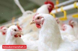 مردم از خرید مرغ زنده خودداری کنند/علت تمایل مردم برای مصرف مرغ زنده قیمت ارزان تر است/ اگر دام ها سالم باشند به کشتارگاه آورده خواهند شد/مردم تشخیص بیماری های دامی را ندارند