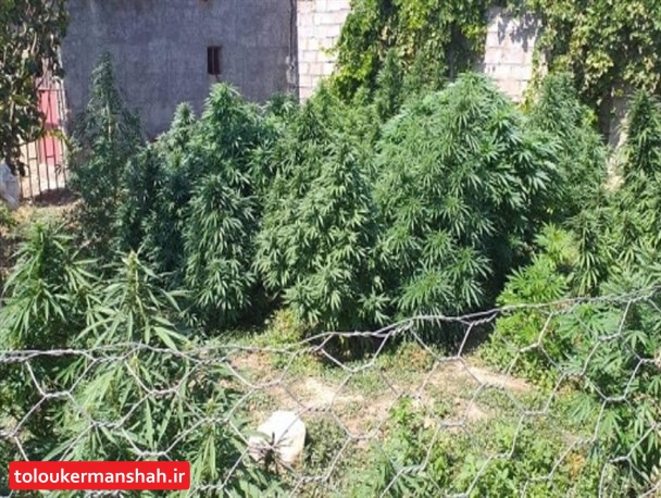 کشف و معدوم سازی ۳ مرزعه ماری جوانا توسط اطلاعات سپاه ناحیه هرسین