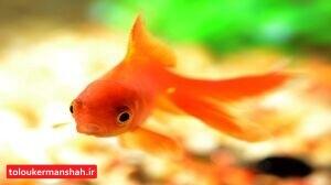 """""""ماهی قرمز"""" کرونا دارد؟"""