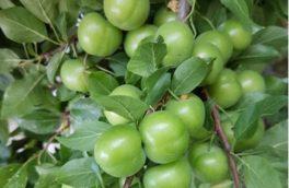 آغاز برداشت گوجه سبز از باغات سرپل ذهاب