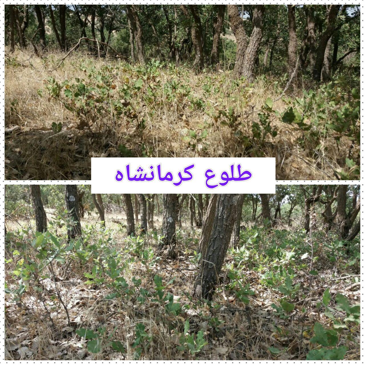 ۱۶۰ هزار هکتار جنگل در کرمانشاه احیا میشود / روزنهای برای نجات رویشگاههای مخروبه زاگرس