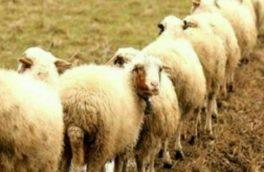 گوسفند سنجابی نژاد برتر ایران است/ علاقه عربها به گوشت گوسفند سنجابی