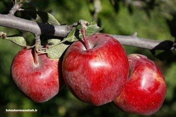 تولید ۳۰۰ هزار تن محصولات باغی در استان کرمانشاه