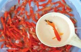 ورود ماهیهای قرمز به اکوسیستمهای طبیعی سبب نابودی گونههای بومی کرمانشاه میشود