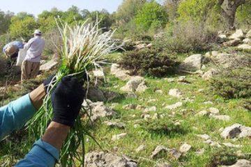 برداشت گیاهان خوراکی در روانسر ممنوع شد