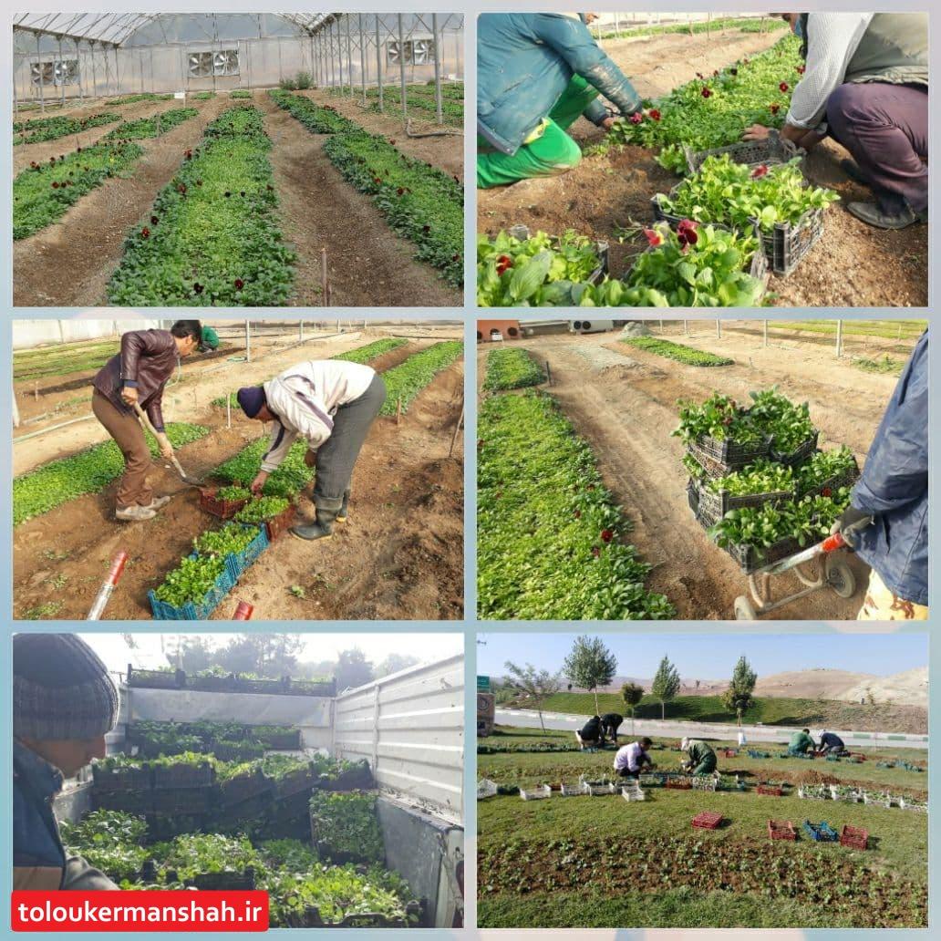 خودکفایی شهر کرمانشاه در تولید گلهای فصلی