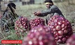پیاز امسال هم اشک کشاورزان هرسینی را درآورد