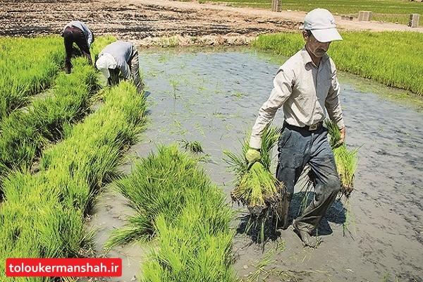 خواب طولانی مسئولان  در وخامت منابع آب زیر زمینی استان/ فقر متهم ردیف اول کشت برنج در دشت های ممنوعه !