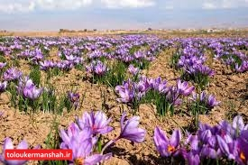 هکتار به اراضی زیرکشت زعفران کرمانشاه اضافه شد
